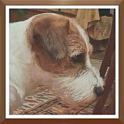 Riproduttori Jack Russell JCH. ITCH. ALVIN DELLE QUERCE ROSSE